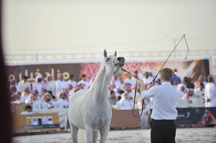 Al Muawd Stud Auction (28)