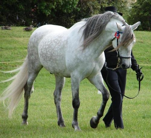Andalusian_horse