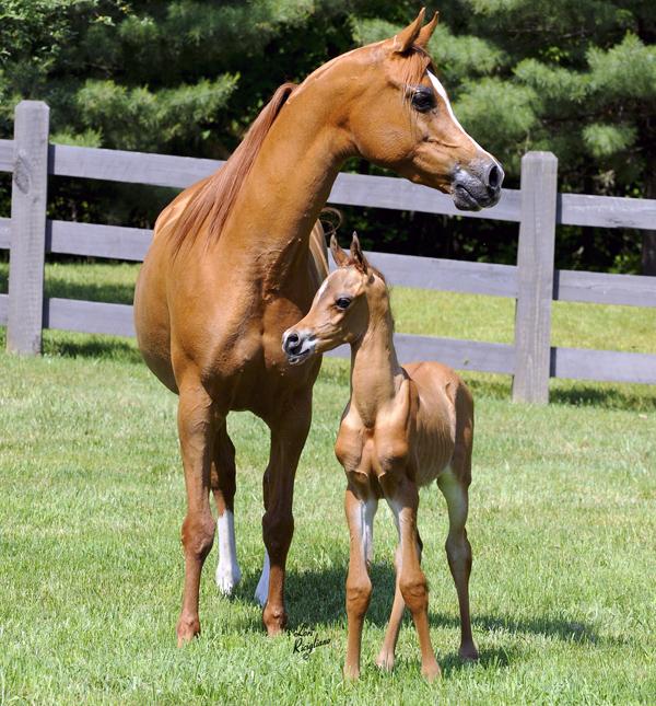 Arabian_foal