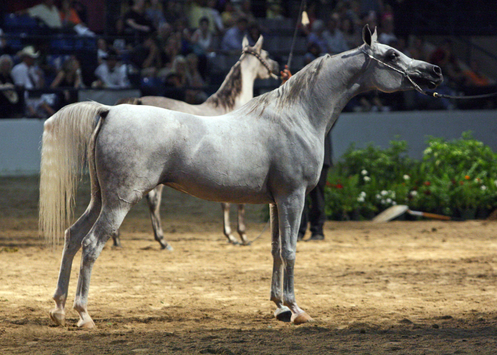 Egyptian_Arabian_Mare_at_the_2010_Egyptian_Event_Horse_Show_(8308402993)