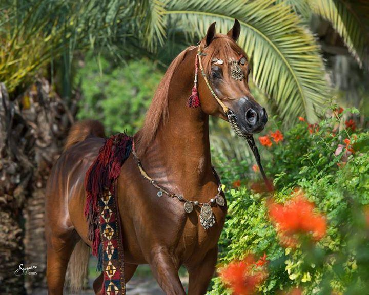 beautiful-arabian-horses