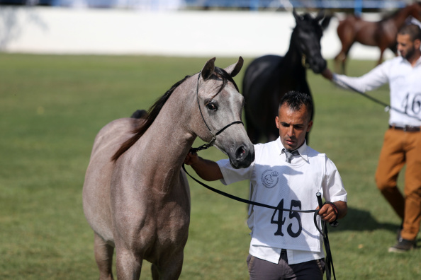 AMMAN, JORDAN- SEPTEMBER 18: Participants take place in the annual Middle East competition for Arab horses beauty on September 18, 2014 in Amman, Jordan. One hundred and twenty Arab horses of different categories and ages from Saudi Arabia, Oman, Lebanon, Syria and Palestine in addition to Jordan take place in the competition that is judged by international judges from Sweden, France, UK, Germany, Switzerland, Spain and Netherland during the three-day competition. (Photo by Jordan Pix/ Getty Images)