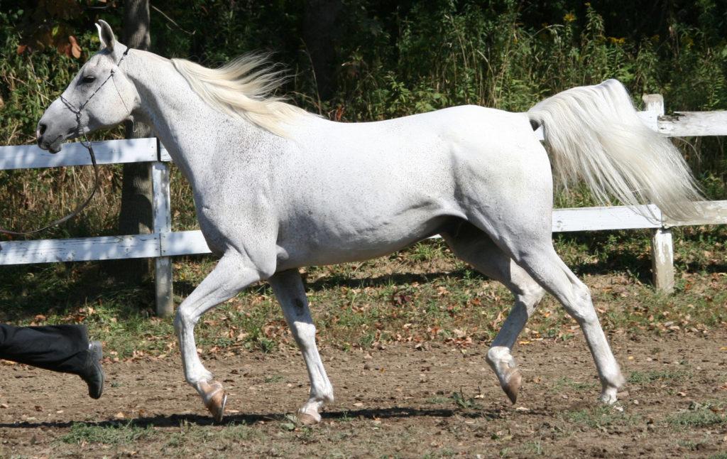 arabian_horse_30_by_fantasydesignstock-d2z02fy